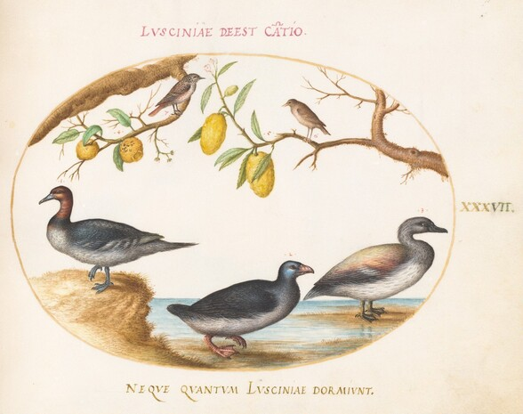 Plate 37: Three Waterfowl with Two Birds Perched in Citrus Trees