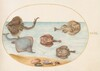 Plate 31: Marbled Electric Ray with Other Skates or Rays, Shells, and a Mollusk in Its Shell