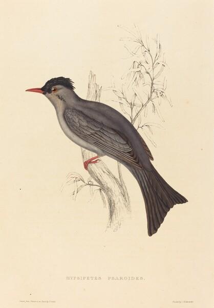 Hypsipetes Psaroides (Black Bulbul)
