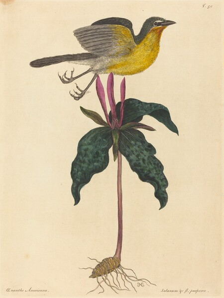 The Yellow-breasted Chat