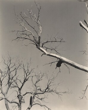 image: The Dying Chestnut Tree—My Teacher