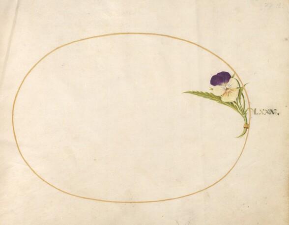 Plate 80: Purple and Yellow Viola