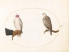 Plate 5: A Hooded Falcon and Its Wild Counterpart