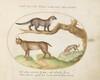Plate 14: A Civet, a Lynx, and a Hyena