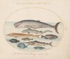 Plate 2: Sperm Whale, Sturgeon, Shark, and Other Fish