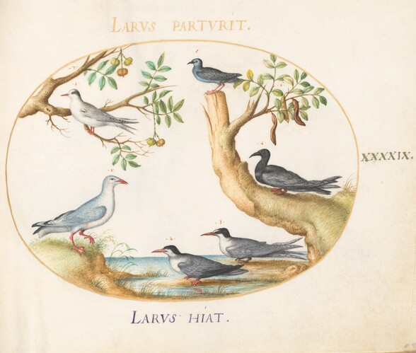 Plate 49: Gulls with a Carob Tree and a Pistachio Tree(?)