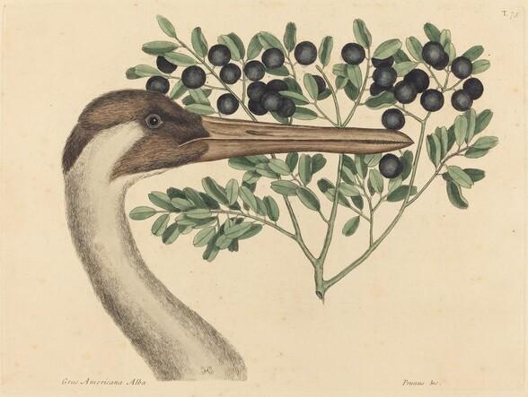 The Hooping Crane (Ardea Americana)