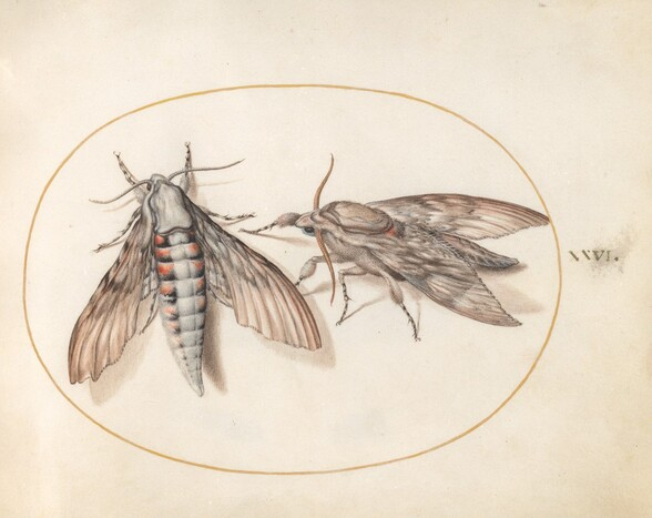 Plate 26: Two Hawk Moths