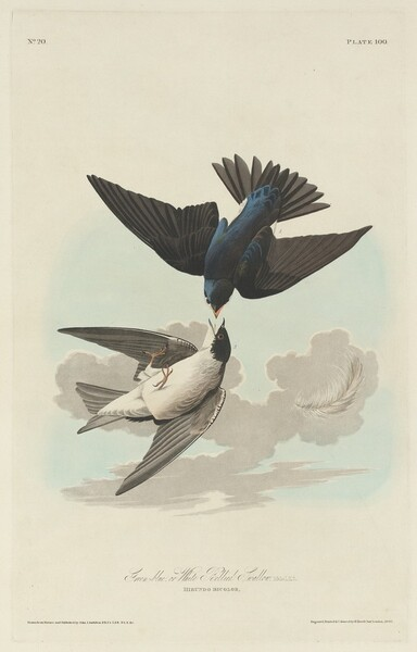 Green-blue or White-bellied Swallow