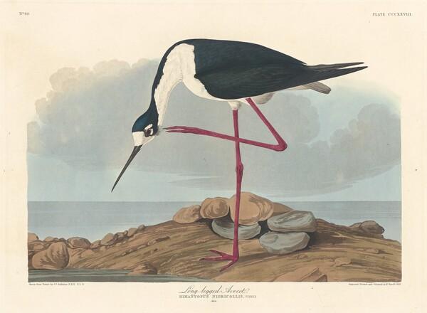 Long-legged Avocet