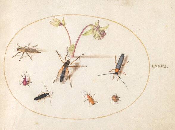 Plate 76: Insects with a Pink and Cream Columbine