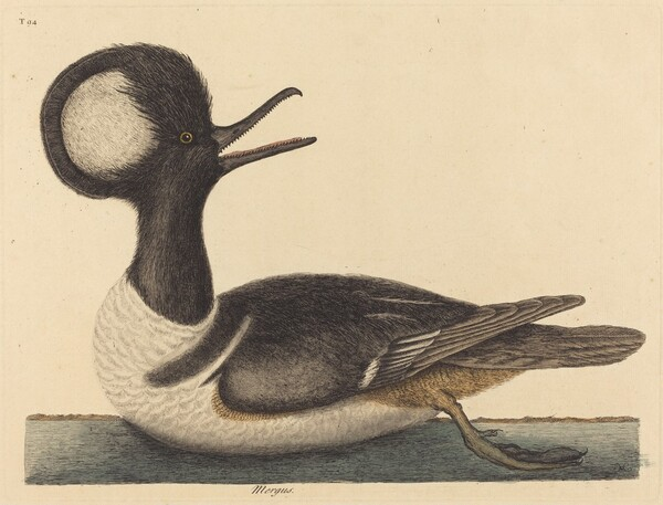 The Round Crested Duck (Mergus cucullatus)