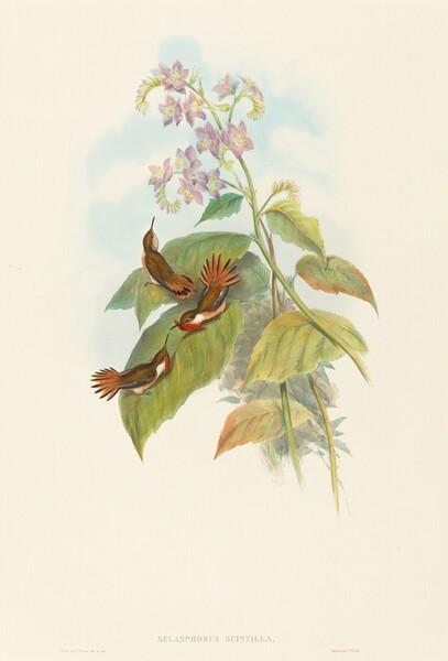 Selashorus scintilla (Scintillant Hummingbird)