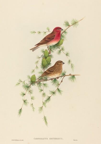 Carpodacus erythrinus (Common Rose Finch)