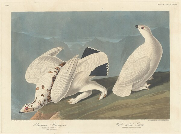 American Ptarmigan and White-tailed Grous