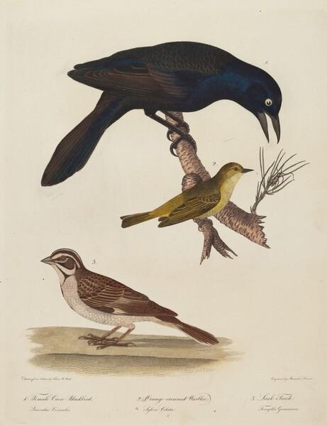 Female Crow Blackbird, Orange-Crowned Warbler, Lark Finch