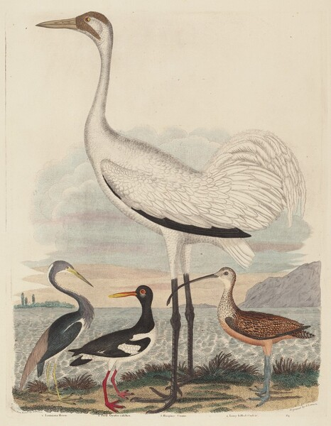 Louisiana Heron, Pied Oyster-catcher, Hooping Crane, and Long-billed Curlew