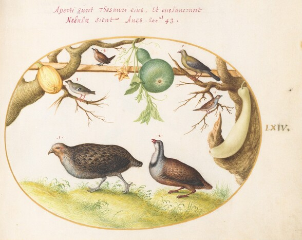 Plate 64: Two Partridges, a Wren, and Other Birds