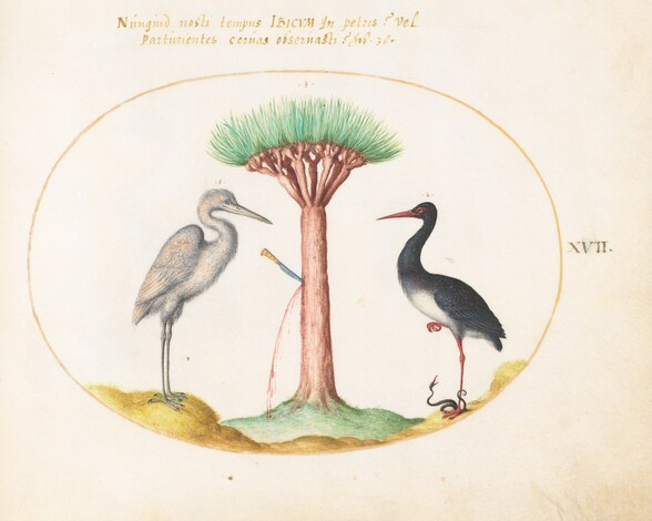 Plate 17: White Heron(?) and Black Stork Killing a Snake with a Dragon