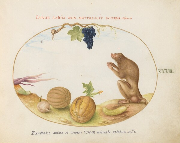 Plate 28: A Tartarine (Barbary Macaque?)  with Fruit and a Snail