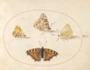 Plate 8: Orange Tip, Painted Lady, Southern Small White, and Small Tortoiseshell Butterflies