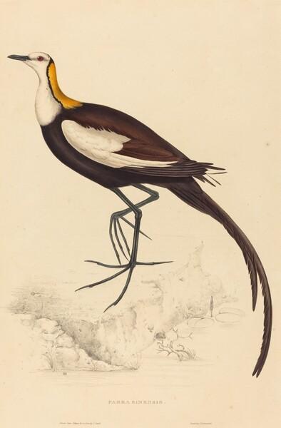 Parra Sinensis (Pheasant-Tailed Jacana)