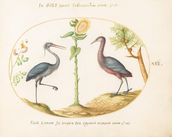 Plate 16: Two Herons(?) with a Sunflower