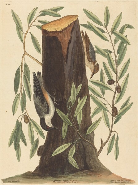 The Nuthatch (Sitta Europaea)