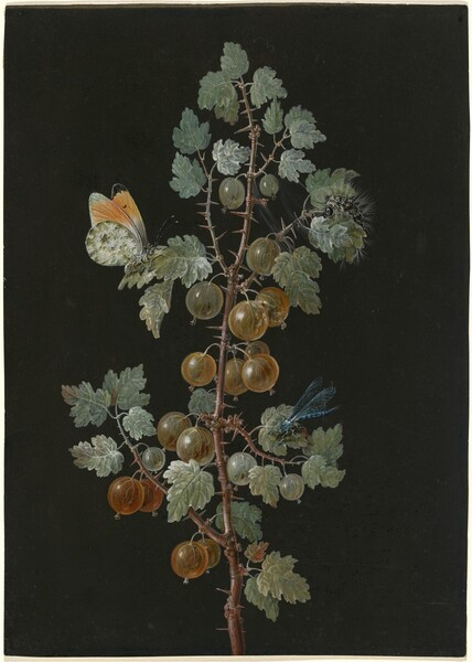 A Branch of Gooseberries with a Dragonfly, an Orange-Tip Butterfly, and a Caterpillar