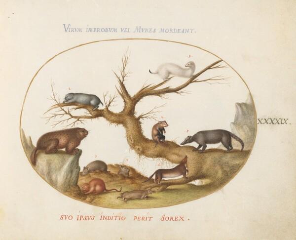 Plate 49: Marmot, Hamsters, Rat, Field Mouse, Shrew, and a Coatimundi