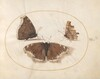 Plate 6: Two Views of a Mourning Cloak (Camberwell Beauty) Butterfly with a Comma Butterfly