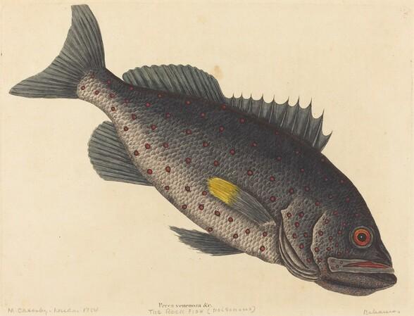 The Rock Fish (Perca venenosa)
