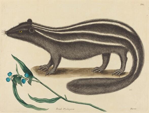 The Pole Cat (Viverra putorius)