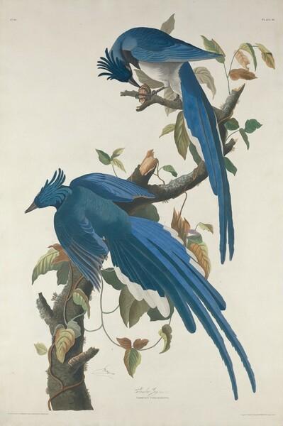 Columbia Jay