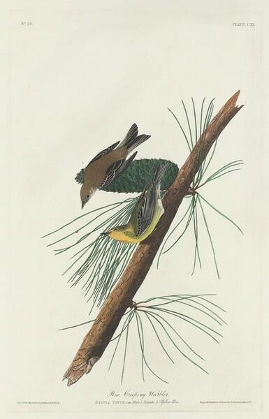 Pine Creeping Warbler