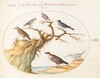 Plate 63: Six Small Birds, Including a Bluethroat and a Cuckoo(?)
