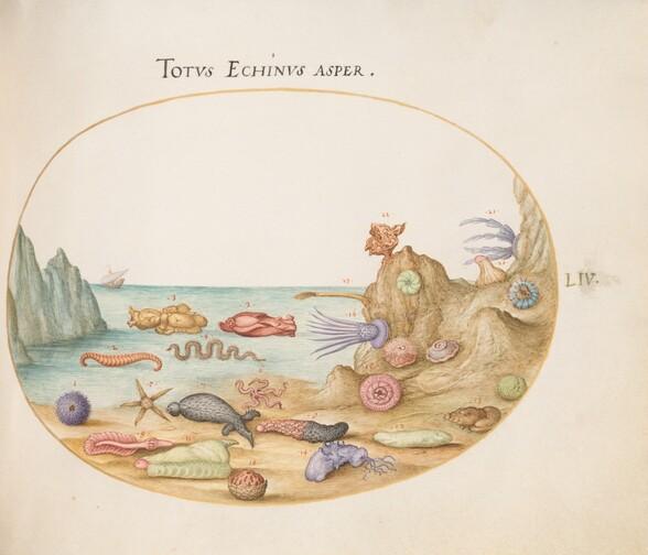 Plate 54: Sea Cucumbers, Sea Urchins, Starfish, a Sea Nettle, a Sea Hare, and Other Marine Life