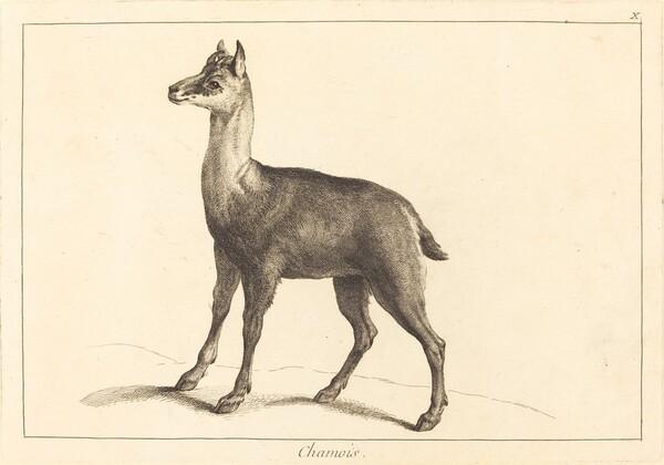 Chamois (Chamois)