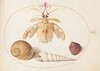 Plate 50: A Dead Hermit(?) Crab with Tower Snail Shells
