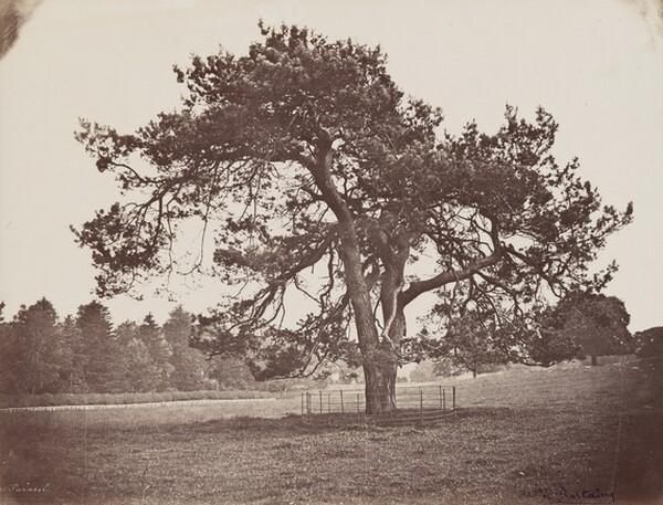 Parc de Hamilton Palace (Parasol Pine)