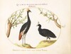 Plate 10: Gray Crowned Crane and Helmeted Currasow