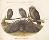 Plate 55: A Tawny Owl, an Eagle Owl, and Two other Owls