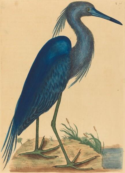 The Blue Heron (Ardea coerulea)