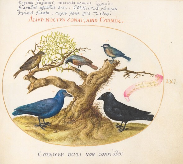 Plate 61: Blue Crow(?), Jackdaw, Chickadee or Tit, and Other Birds