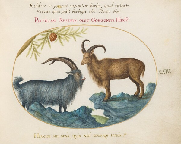 Plate 24: A Wild Goat and a Barbary Sheep(?)
