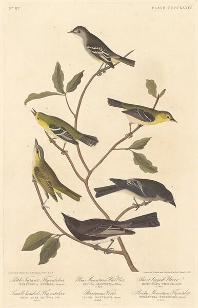 Little Tyrant Flycatcher, Small-Headed Flycatcher, Blue Mountain Warbler, Bartram