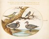 Plate 32: A Green-Winged Teal, a Juvenile Green Woodpecker, and Two Other Birds