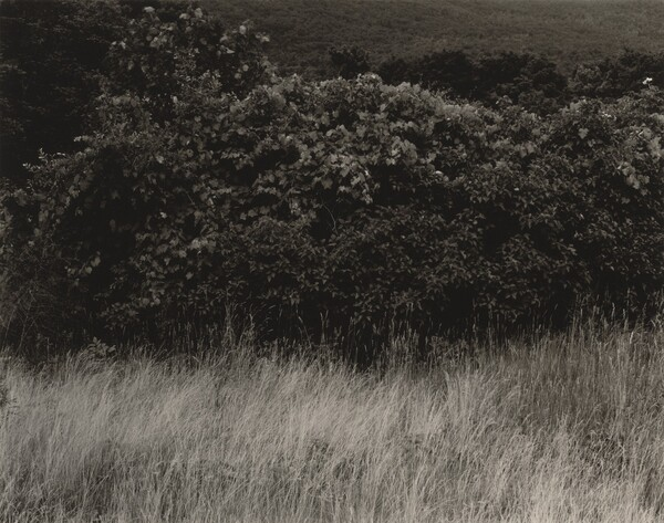 Hedge and Grasses—Lake George