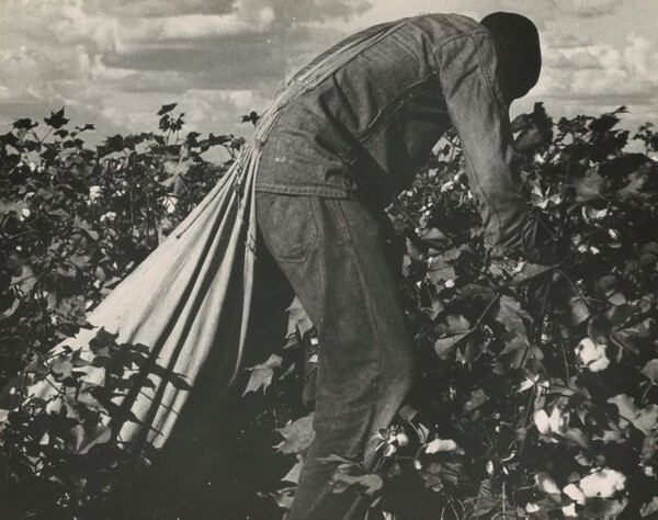 Migratory field worker picking cotton in San Joaquin Valley, California