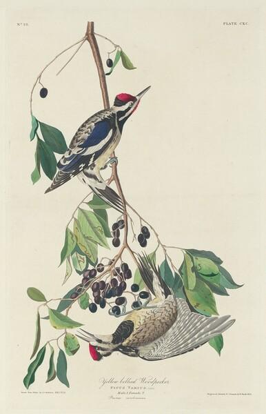 Yellow-bellied Woodpecker